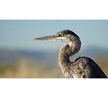 Heron Photographic Print