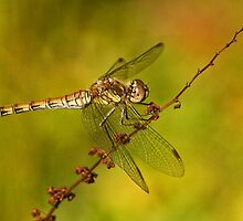 Common Darter Dragonfly (Sympetrum striolatum) by Paul Ritchie