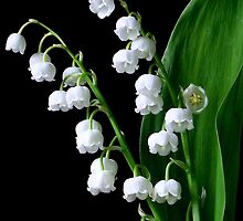 Lily of the Valley by jennybarnes