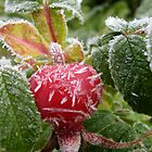 Rose-Hip-Nipped by L J Fraser