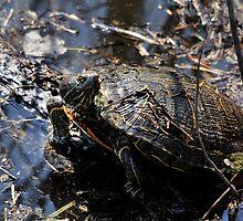 Turtle Rising by Dennis Stewart