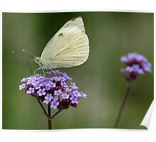 Feeding Butterfly Poster
