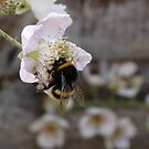 Blackberry and bee by elsie