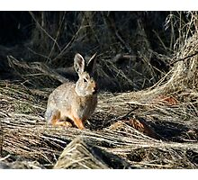 The cottontail Photographic Print