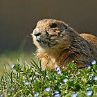 Black-tailed Prairie Dog (Cynomus ludovicianus) by Konstantinos Arvanitopoulos