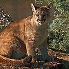 Young Cougar (Felis concolor) by Konstantinos Arvanitopoulos