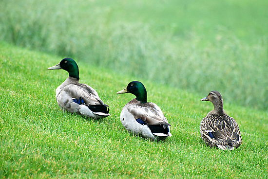 Ducks by Vonnie Murfin