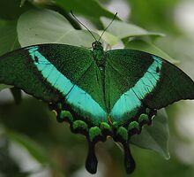 Emerald Swallowtail by Tracey  Dryka