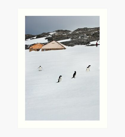 Adelie Penguins at Mawson's Huts Art Print