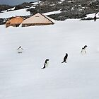 Adelie Penguins at Mawson's Huts by Phill Danze