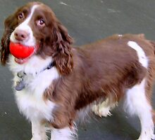 Springer Spaniel  by copperhead
