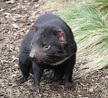 Please don't fade away - Tasmanian Devil by Leigh Rust