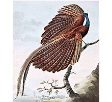 Argus Pheasant Bird Painting Photographic Print