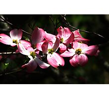 Pink Dogwood Photographic Print