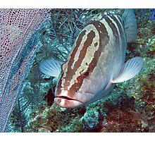 Nassau Grouper & Sea Fan Photographic Print