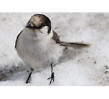 Snow Bird Photographic Print