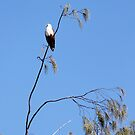 sea eagle on the lookout by footsiephoto