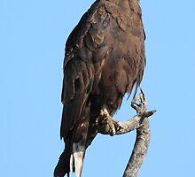 Brown Snake Eagle by John Banks