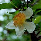*THE SNUFF-BOX TREE* – Oncoba spinosa, the tree with many uses by Magriet Meintjes