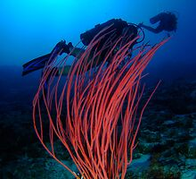 Whip Coral at 45m (147ft), Cocos Island, Indian Ocean, Australia by Sean Elliott