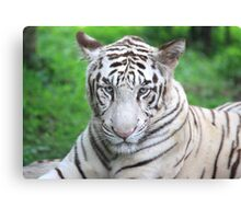 The Royal Look of a White Tiger Canvas Print