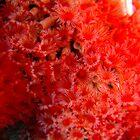 Red tube worms feeding by Sean Elliott