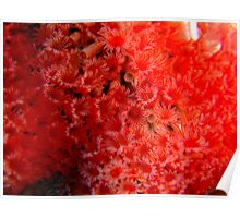Red tube worms feeding Poster