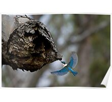 Kingfisher with Grub Poster