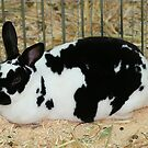 Giant Checkered Rabbit by Jenny Brice