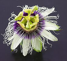 Passionfruit Flower. by trevorb