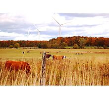 Contrast and Cows Photographic Print