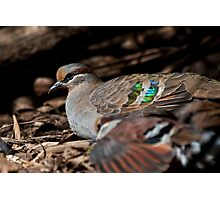 Bronzewing Photographic Print