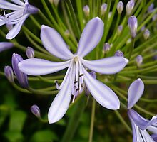 Agapanthus flower by Alan Reid