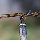 The Dragon Flies by Lawrie McConnell