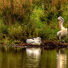 Pelican Dreaming- Tidbinbilla Sanctuary, Australia - The HDR Experience by Philip Johnson