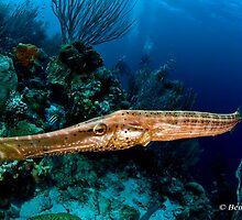 Trumpetfish  (Aulostomus maculatus) by bennystoors