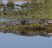 Gator Reflextion by Karen  Moore