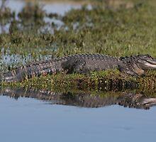 Gator Reflextion by Karen  Moore