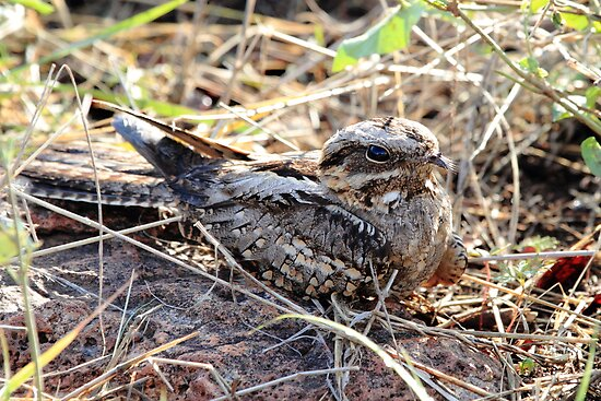 Fiery Necked Nightjar by John Banks