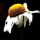 Daisy by Karen  Betts