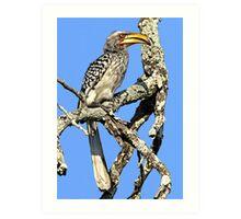 Yellow Billed Hornbill Art Print
