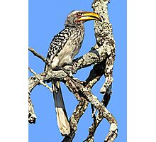 Yellow Billed Hornbill Photographic Print