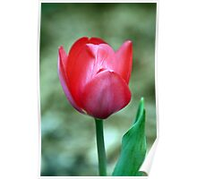 Red Tulip in Plano, Texas Poster