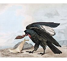Condor Bird and Seal Vintage Art Photographic Print