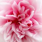 Palest of Pink. by Karen  Betts