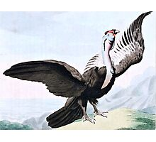 Condor Bird Wildlife Illustration Photographic Print