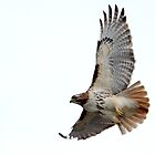 Beautiful Red-Tailed Hawk by Erik Anderson