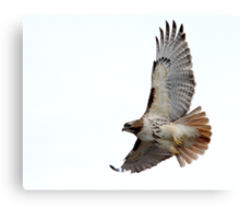 Beautiful Red-Tailed Hawk Canvas Print