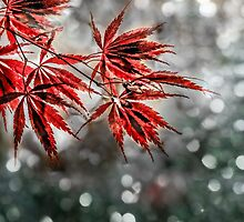 Japanese Red Maple Leaves  by LudaNayvelt