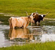 09-128 - Texas Long Horn Cool down in Florida Pond by djyoriginals